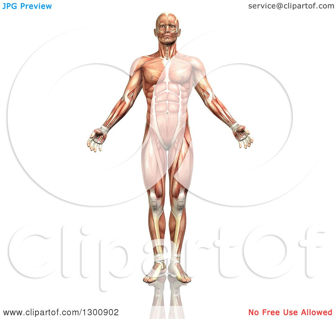Clipart of a 3d Anatomical Male with Visible Muscle Map, on White.