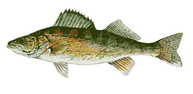Great Clip Art of Freshwater Fish: Walleye.