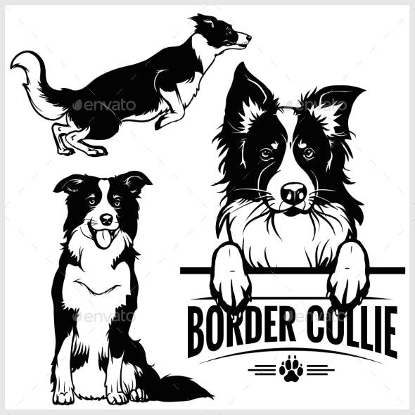Border Collie Dog.