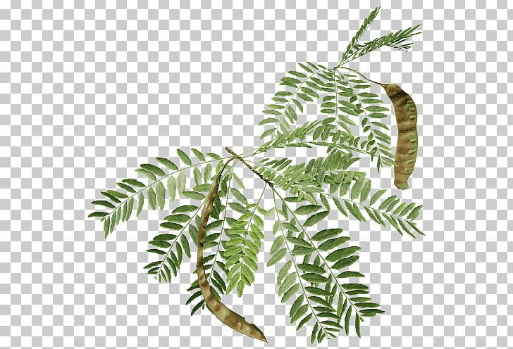 Branch Honey Locust Tree Fern Black Locust PNG, Clipart, 3d.