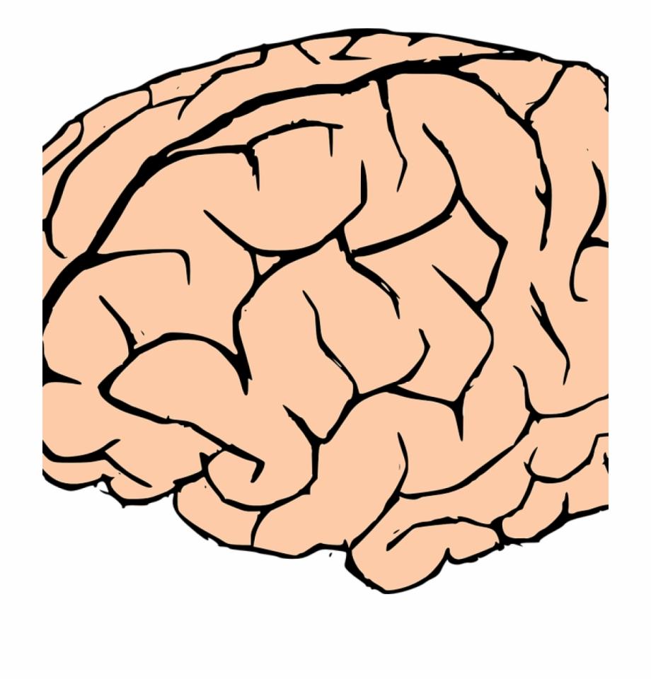 Brain Clipart Human Brain Clipart Brain Human Knowledge.