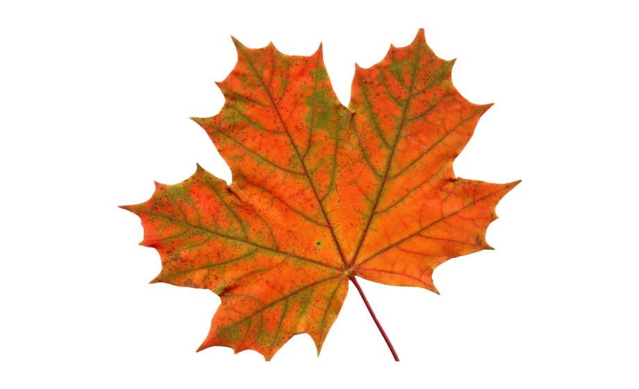 Canada Maple Leaf Png Transparent Images.