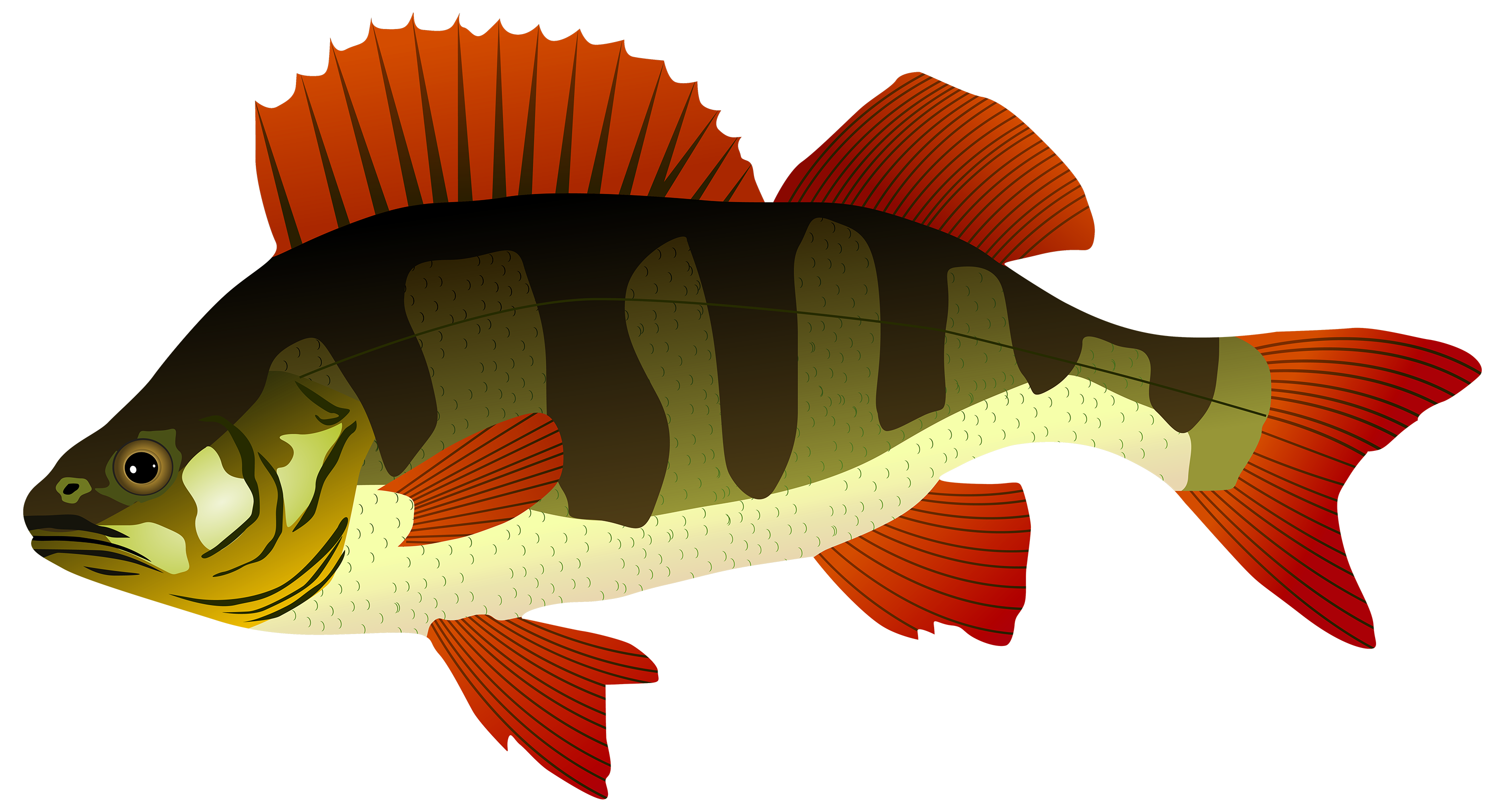 Perch Fish PNG Clipart.