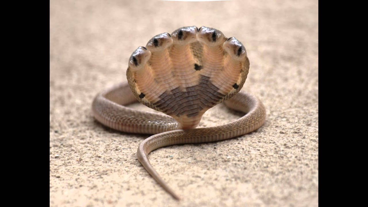 The Proof of Five Headed Snake.
