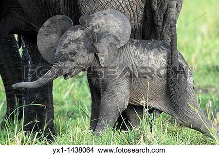 Stock Photo of The baby elephant is always within about 50 meters.