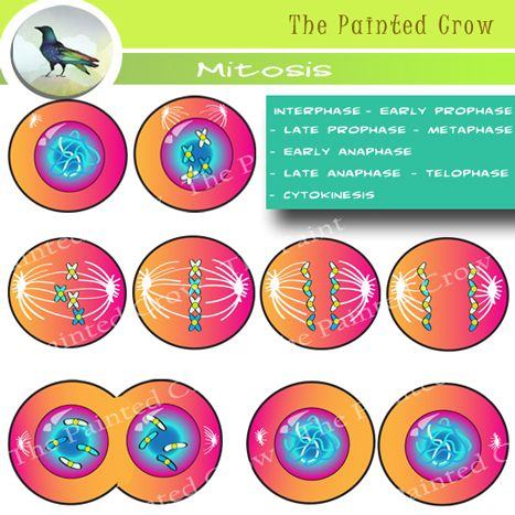Cell Mitosis Clip Art.