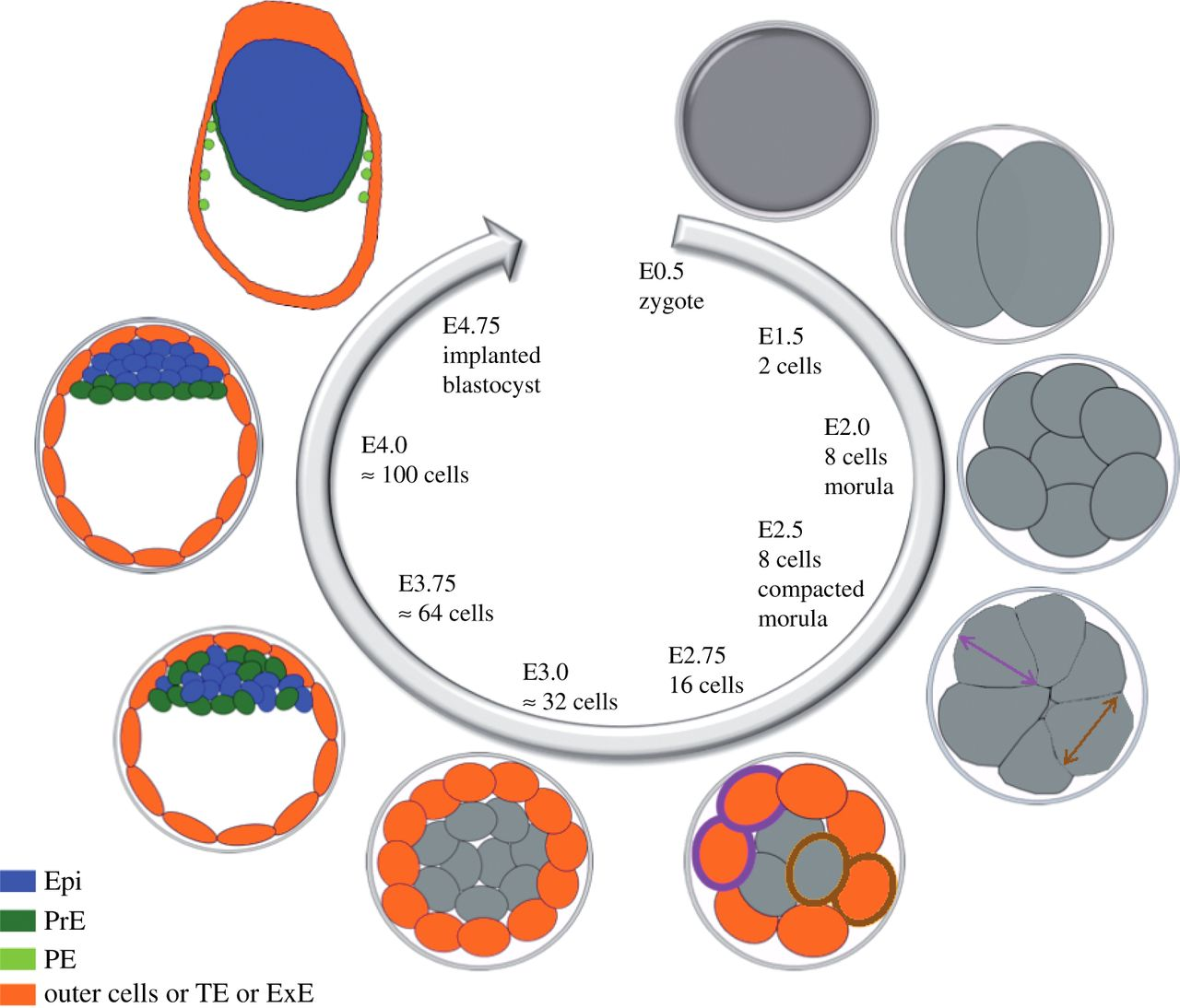 Primitive endoderm differentiation: from specification to.