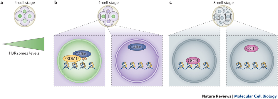Asymmetries between cells of 4.