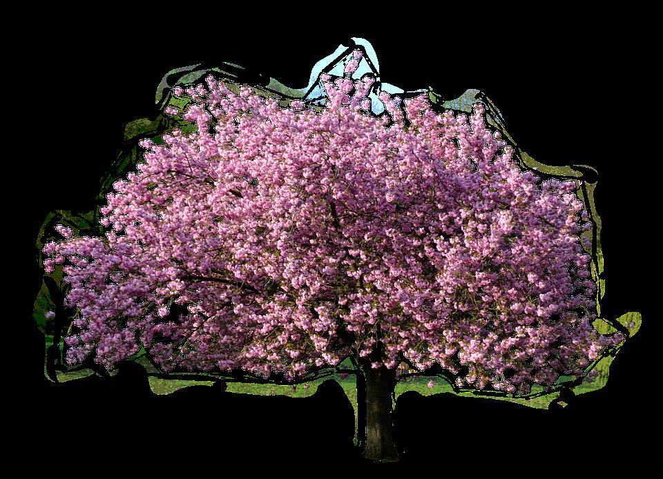 Tree Magnolia.