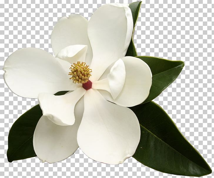 Southern Magnolia Virginia Sweetspire Flower Garden Club.