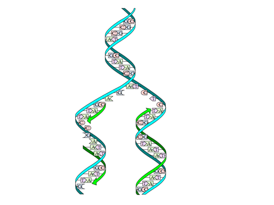 Download modeling dna replication 9th grade clipart DNA.