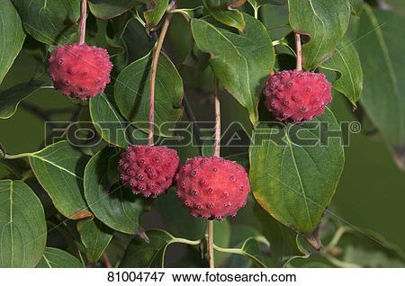 Picture of Japanese Dogwood (Cornus kousa Weisse Fontaene), twigs.