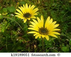 Doronicum Stock Photos and Images. 101 doronicum pictures and.