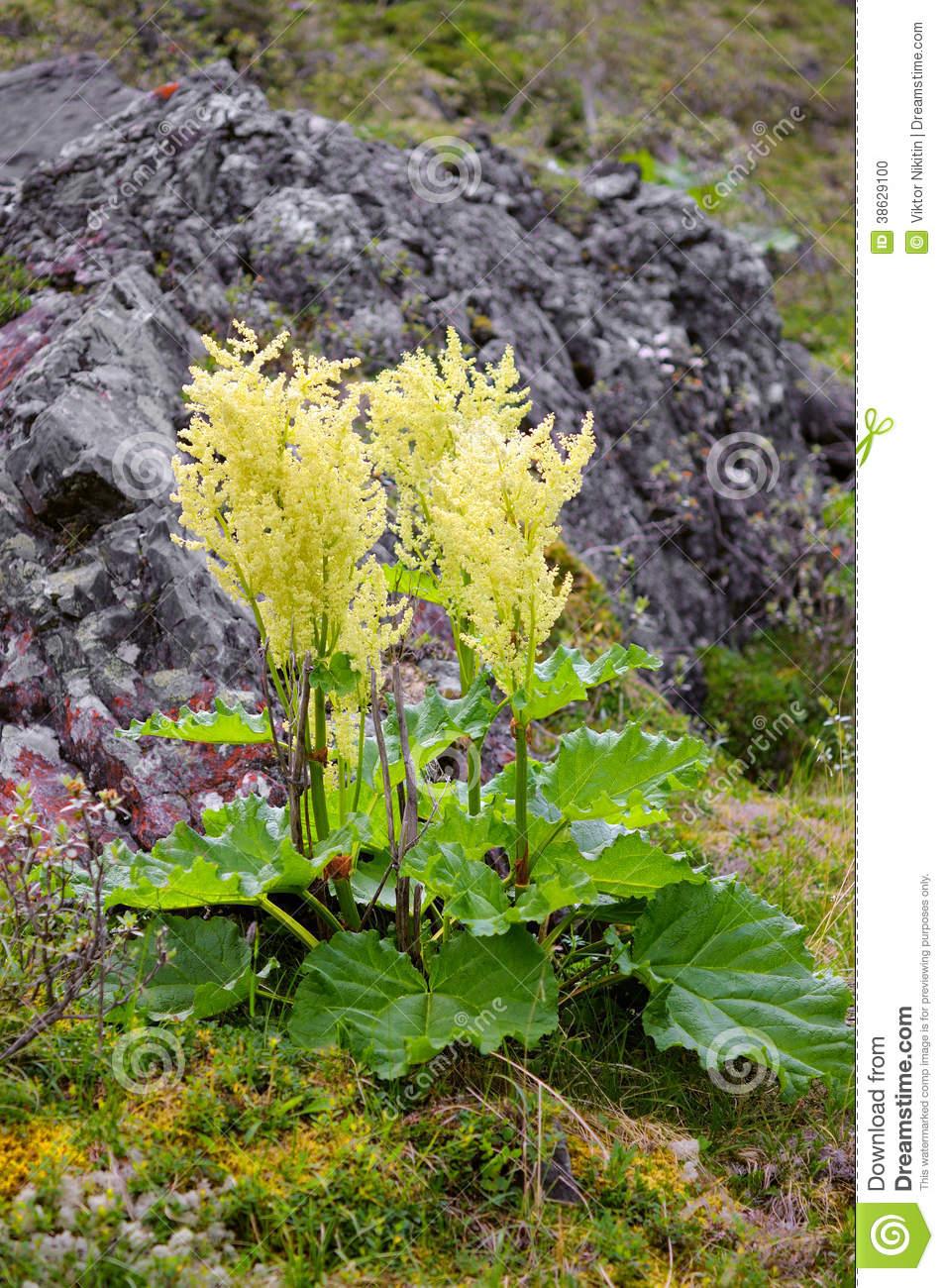 Wild Rhubarb (Rheum Altaicum L.) Stock Photo.