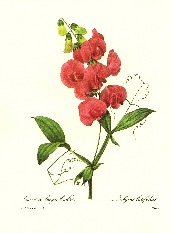 Lovely Vintage Sweet Pea Print Redoute Botanical Print Pink Flower.