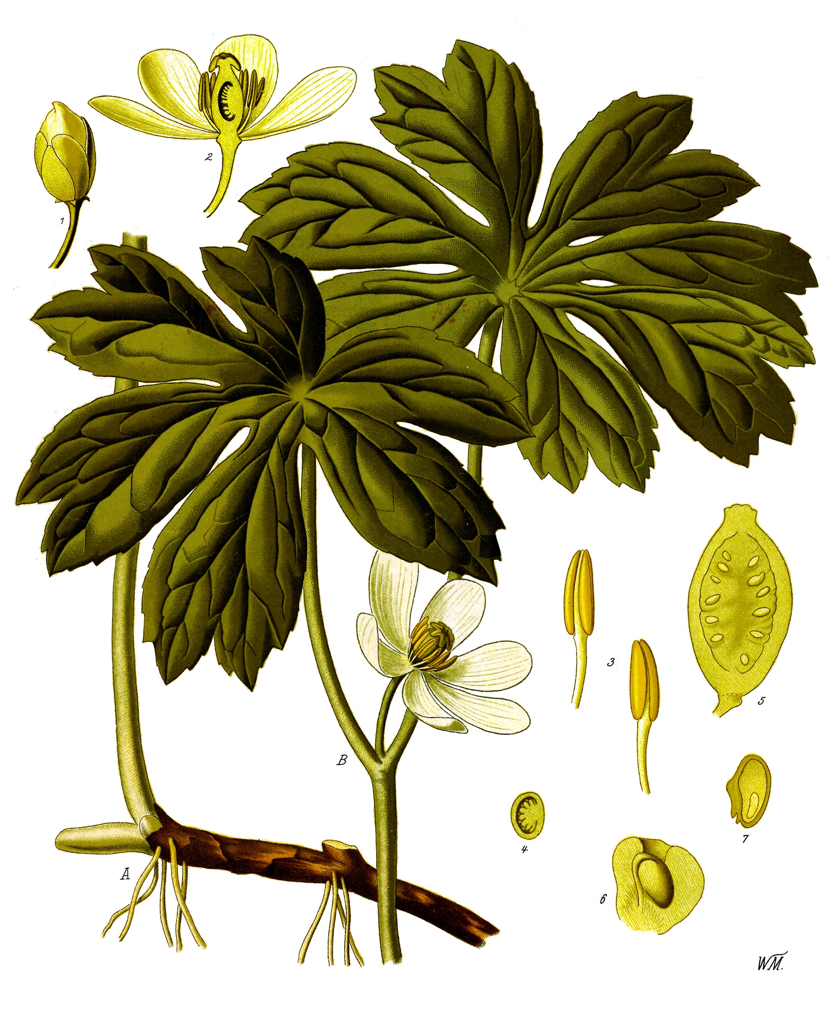 Berberidaceae.
