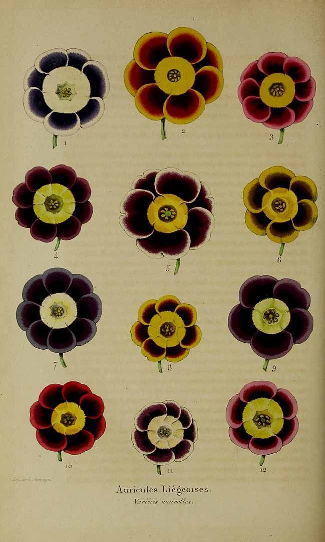 1000+ images about Primula auricula on Pinterest.