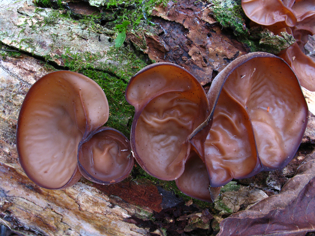 Auricularia auricula picture.