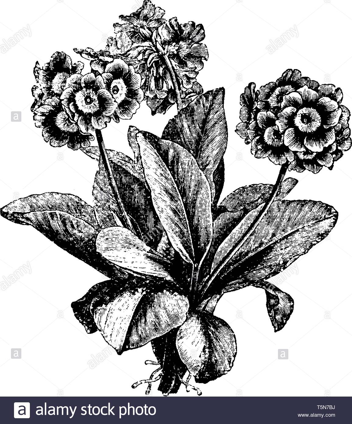 Auricula Black and White Stock Photos & Images.