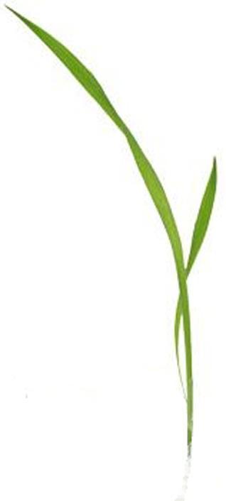 Grass blade clipart.