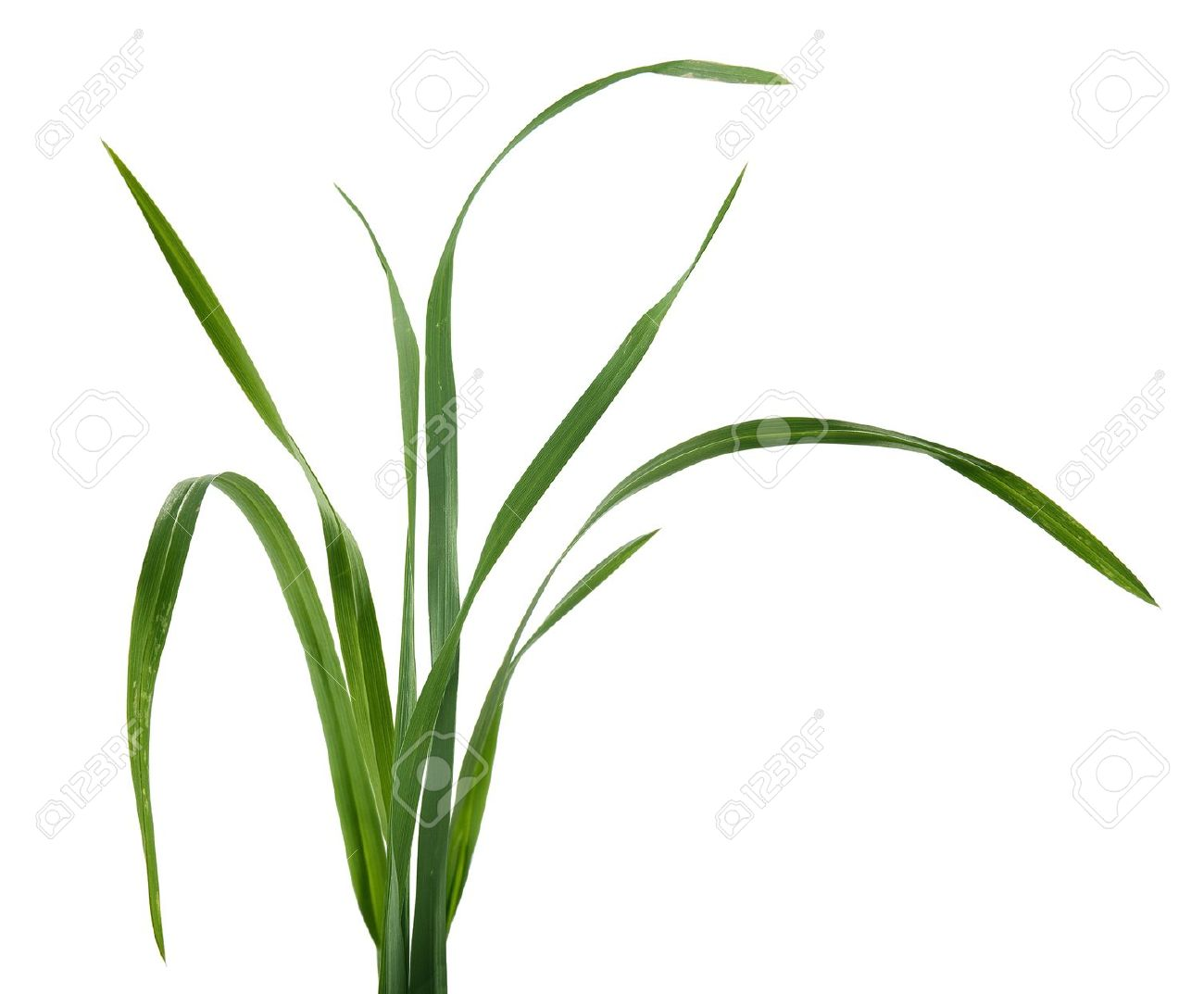 Some Isolated Fresh Green Blades Of Grass Stock Photo, Picture And.