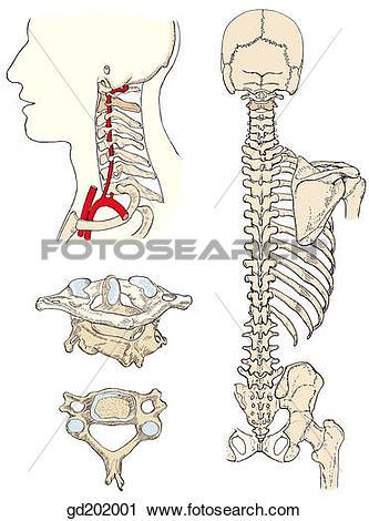 Clipart of Bony landmarks of the back and vertebral column.
