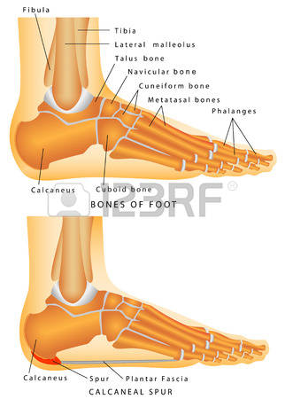 Calcaneus Bone Stock Vector Illustration And Royalty Free.