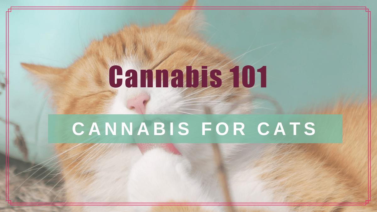 Cannabis 101: CBD for Your Cat.