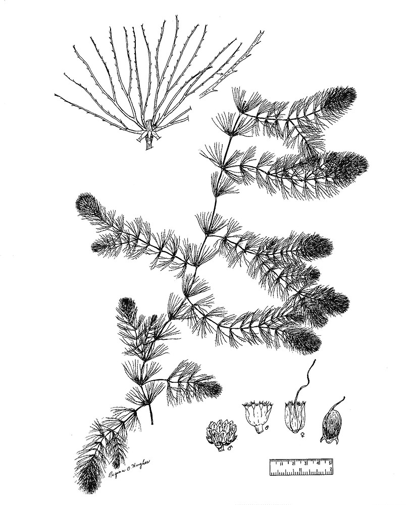 Ceratophyllum demersum (common hornwort, coontail): Go Botany.