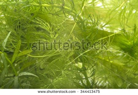Ceratophyllum Stock Photos, Royalty.