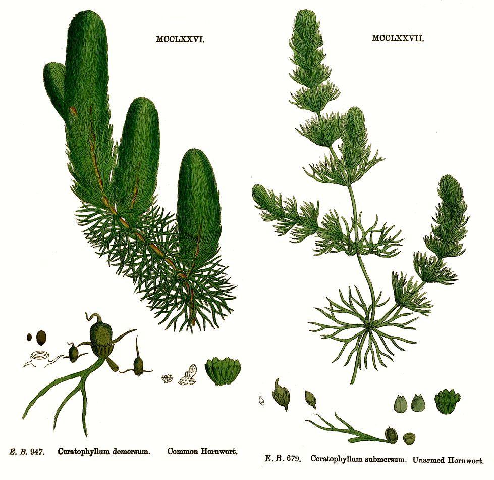 Ceratophyllum.