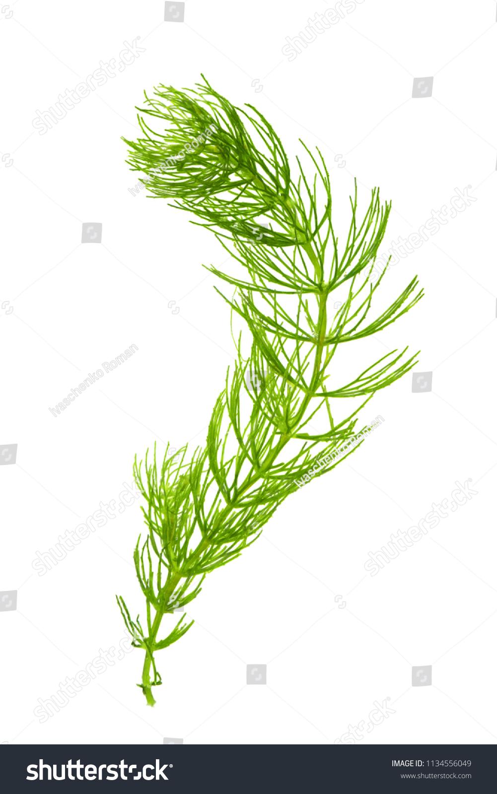 Hornwort Ceratophyllum Demersum On White Background Stock Photo.