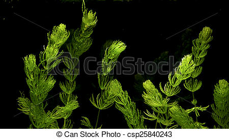 Stock Photo of Coontail Ceratophyllum demersum.