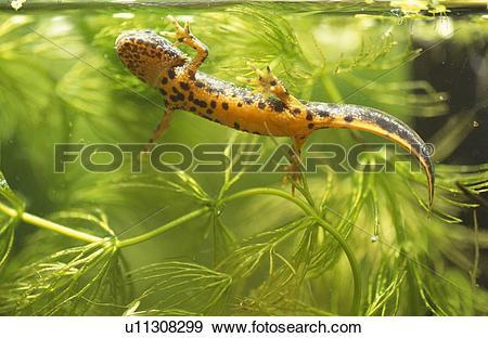 Stock Photograph of Great crested newt (Triturus cristatus.