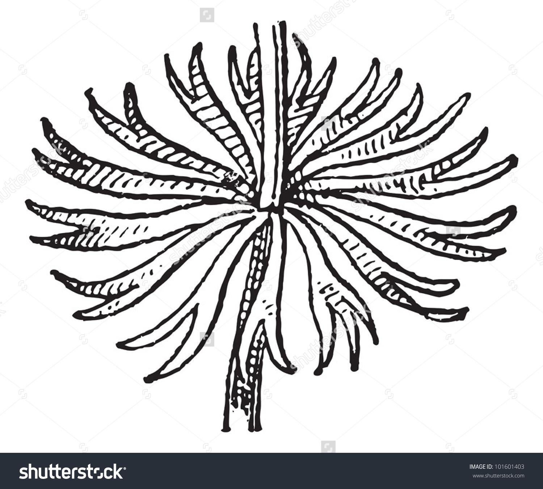 Whorl Arrangement, Leaves Of Hornwort Or Ceratophyllum Demersum.