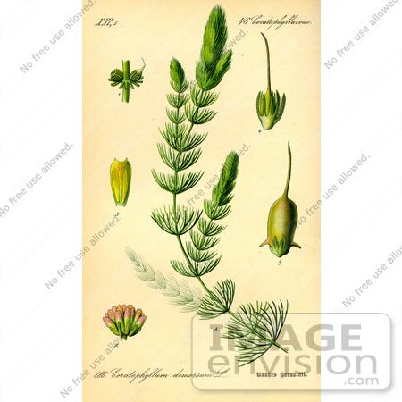 Picture of Common Hornwort, Coontail (Ceratophyllum demersum.