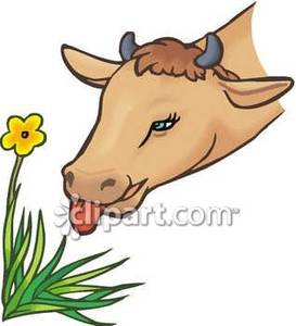 Cow_Eating_A_Flower_Royalty_Free_Clipart_Picture_090103.