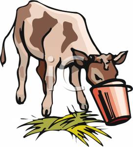 Cow Eating Out of a Bucket.