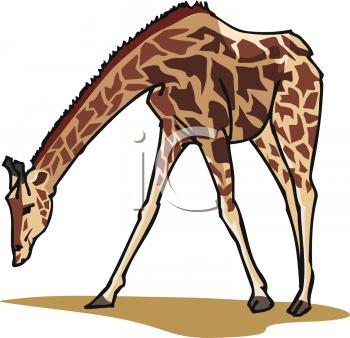 Clipart of A Grazing Giraffe.