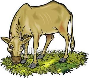 Cow Grazing.