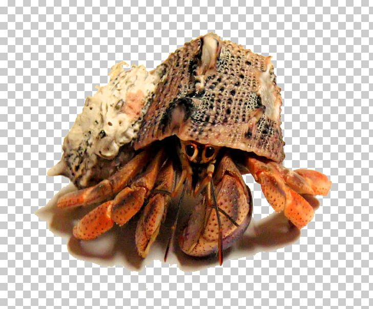 Hermit Crab Seafood PNG, Clipart, Animals, Animal Source.