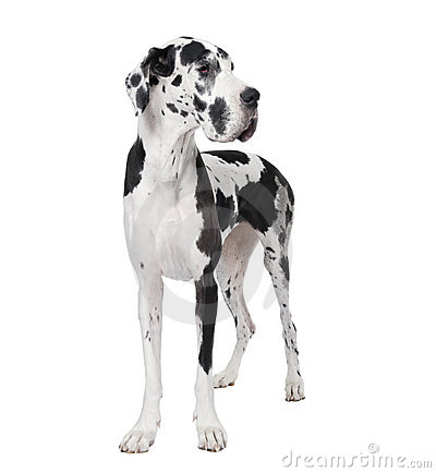 Great Dane Clipart Free.