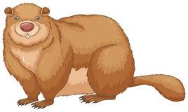 Woodchuck Stock Illustrations.
