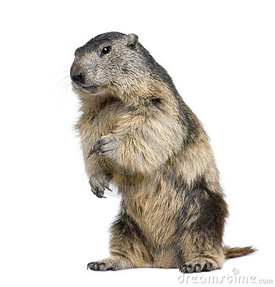 Marmot Stock Photos, Images, & Pictures.