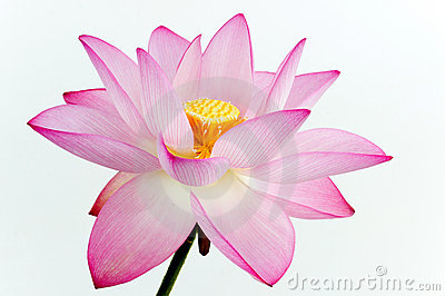 lotus the national flower of india