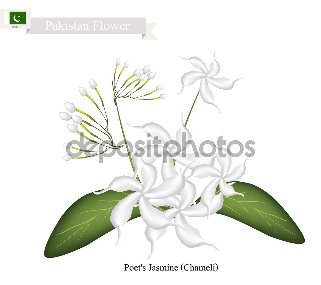 Poet's Jasmine, The National Flower of Pakistan — Stock Vector.