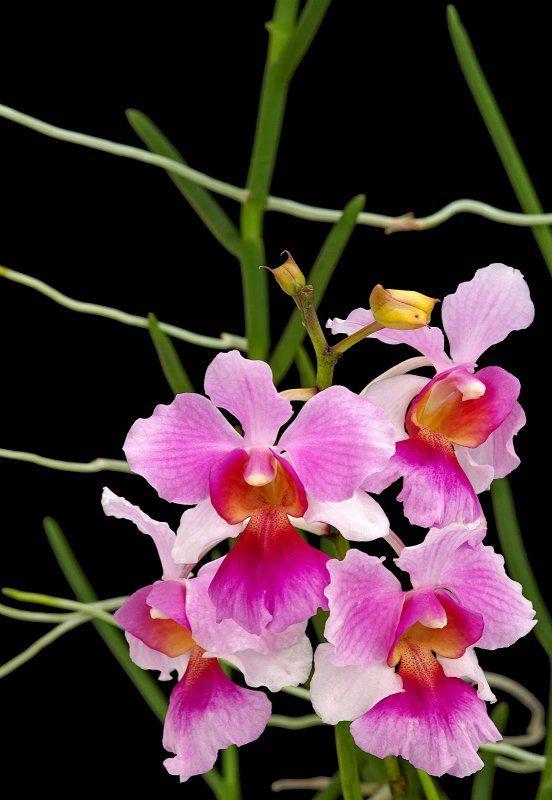 National flower of singapore vanda miss joaquim clipart.
