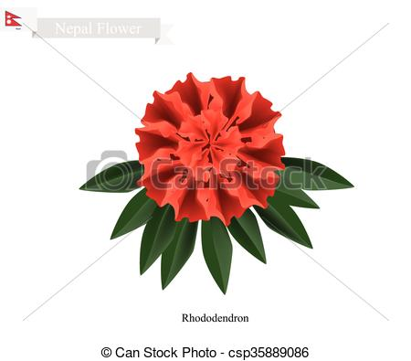 Vector of Tulip Flowers, The National Flower of Nepal.