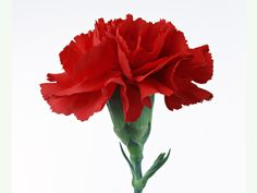 England's national floral emblem the Tudor Rose.