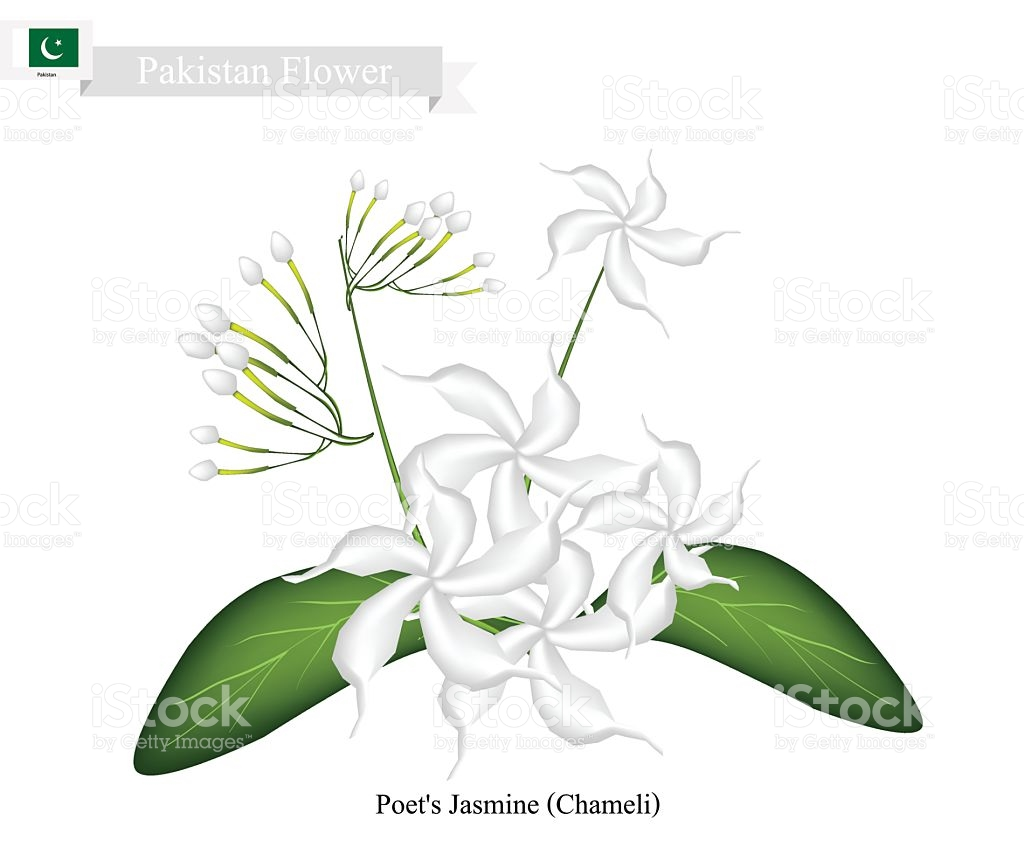 Poets Jasmine The National Flower Of Pakistan stock vector art.